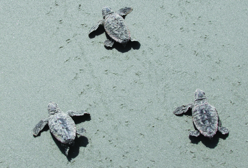 three turtle hatchlings scuttle across sand. The sand shows tracks where other other turtles have crossed it.